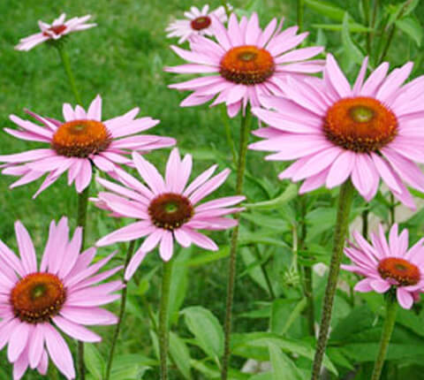 anticaerboristeria_it_ingredienti_echinacea_480x430