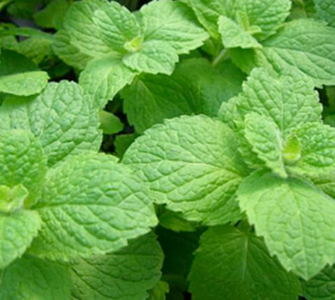 anticaerboristeria_it_ingredienti_menta_480x430