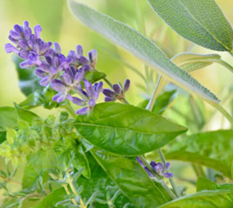 anticaerboristeria_it_ingredienti_salvia_480x430
